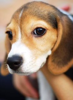 Beagle Pups Are Sooo Photos Of Puppies Pictures Of Dog Breeds Cute