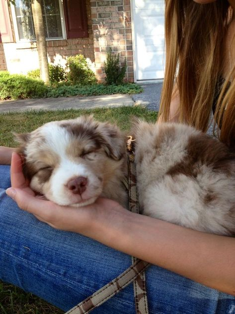 Australian Shepherd Puppies, Aussie Puppies, Cute Dogs And Puppies, Doggies, Red Merle Australian Shepherd, Mini Australian Shepherds, Corgi Puppies, Baby Animals Pictures, Cute Animal Pictures