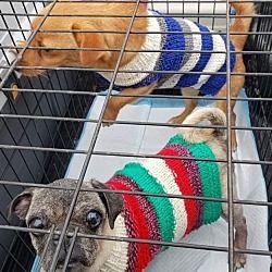 Allen Tx Pug Meet Coco A Pet For Adoption Pet Adoption
