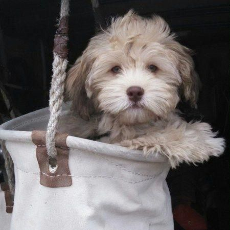 The Traits We Like About The Outgoing Havanese Dogs Havaneselove Havanesepuppygrooming Havaneseg Havapoo Puppies Poodle Mix Breeds Yorkshire Terrier Puppies