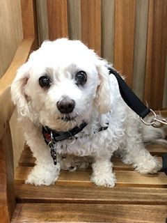 Today S Awww Meet Scooby He S A 14 Year Old Maltese Poodle