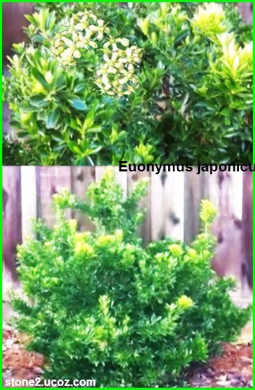 انواع نبات المضاض او قبعة الراهب Euonymus قائمة الفواكهة النبات معلومات نباتية وسمكية معلوماتية Plants Herbs