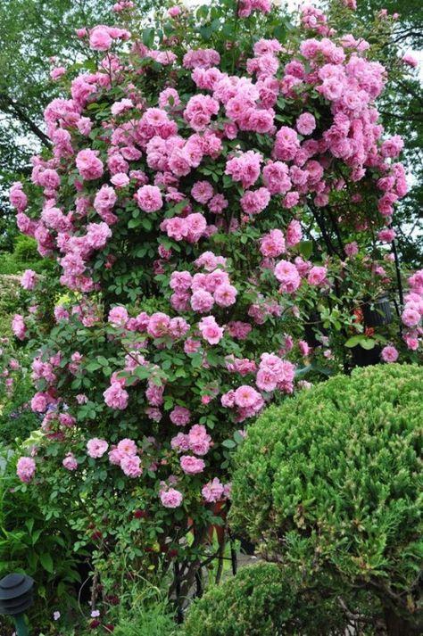 Rosa kordesii 'John Davis' | Zon VII. Kanadensisk buskros med stora klasar av mellanrosa rosor med gräddgula till gula kronbladsbaser. De fyllda blommorna har ca 40 kronblad och en stark, kryddig doft. Växtsättet är kraftigt och friskt, bladen är tåliga och de talrika, långa skotten har en tendens att ligga eller krypa längs marken. Sjukdomsresistensen är god och sorten kräver inte mycket skötsel under normala omständigheter. 2.5x2m. Svejda, 1977.