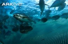 Southern bluefin tuna swimming next to fish farm net