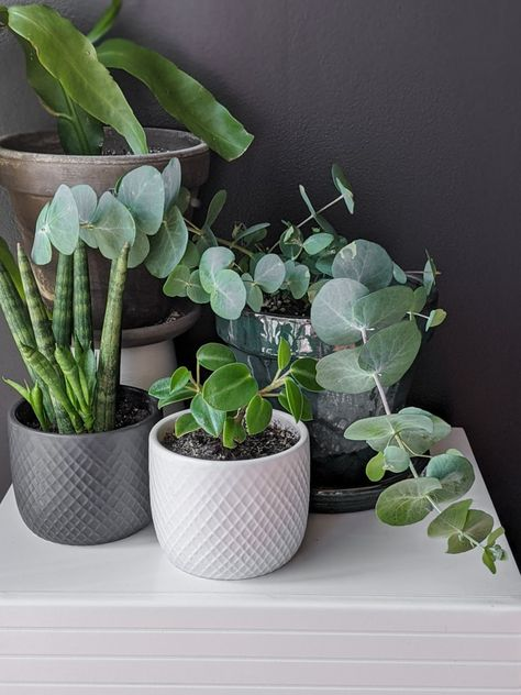 Learn all about eucalyptus plant care, including how to care to potted eucalyptus and how to help your plant thrive indoors!