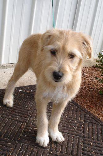 Sandy Wheaten Terrier Mix Wheaten Terrier Mix Terrier Mix Dogs