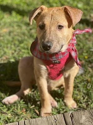 Adopt Mochi On Petfinder In 2020 Dog Adoption Pet Adoption Labrador Retriever