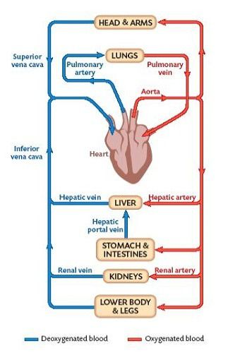 Bio121 Systemic And Pulmonary Circulations Flashcards Quizlet