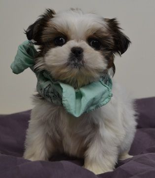 Shih Tzu Puppy For Sale In Tucson Az Adn 59268 On Puppyfinder
