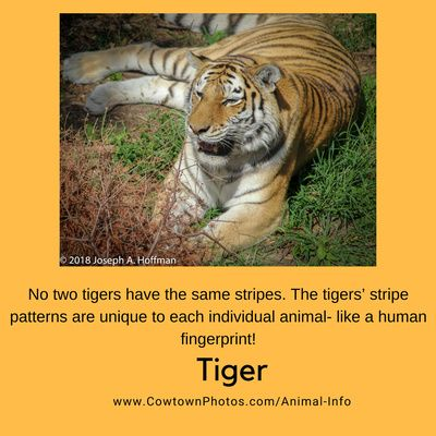 Animal Info Fact Of The Day Tiger Jcpanimalinfo Tiger Facts For Kids Tiger Facts Animals