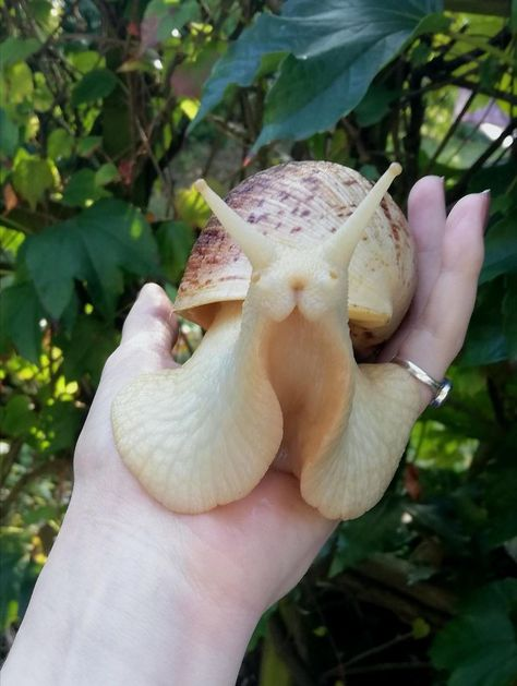 Ever had a giant snail look directly into your soul? Cute Creatures, Beautiful Creatures, Animals Beautiful, Cute Baby Animals, Animals And Pets, Funny Animals, Giant African Land Snails, African Snail, Giant Snail