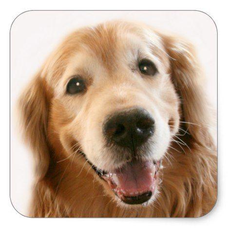 Smiling Golden Retriever Square Sticker Zazzle Com Cute Little Dogs Dog Life Dogs Golden Retriever