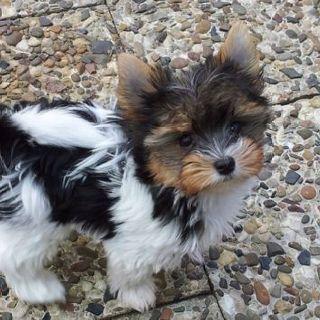 Yorkie Puppy Ich Liebe Seine Farbung Farbung Ich Liebe Puppy Seine In 2020 Mit Bildern Yorkie Welpen Beliebte Hunderassen Niedliche Welpen