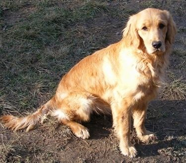 A Miniature Golden Retriever Is Sitting In Dirt And Mud And
