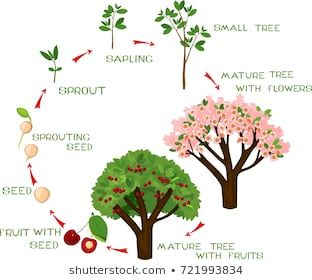 Life Cycle Of Cherry Tree With Captions Plant Growing From Seed To Cherry Tree Porcelana