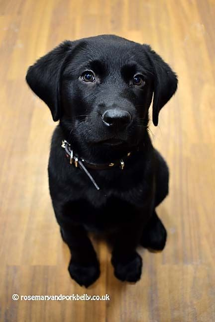 Cane Or Canine With Images Guide Dog Dogs And Puppies Dogs