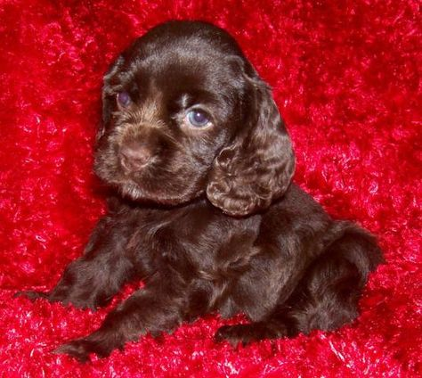 Akc Chocolate Cocker Spaniel Puppies Females We Ship