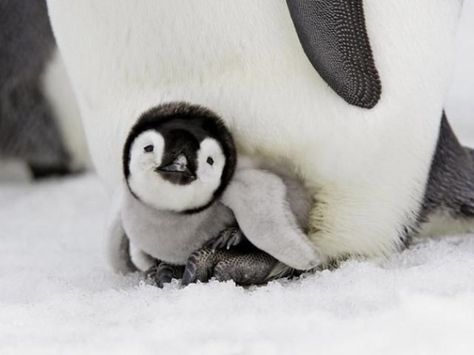 Baby penguin snuggles with mama