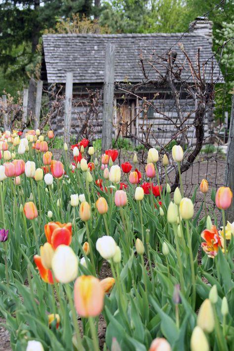 Tulips at Toledo Botanical Gardens