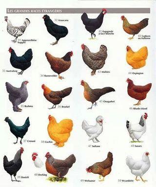 Chicken breed chart chickens pinterest chicken breeds coops