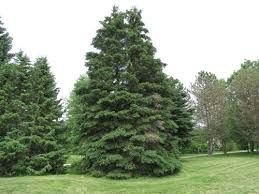 Image Result For Ontario Trees White Spruce Spruce Tree Tree Seeds
