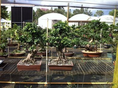 Wholesale Bonsai Pots Wholesale Bonsai Trees H F Import Bonsai Pots Suppliesinc Home Page Bonsai Pots Bonsai Bonsai Tree