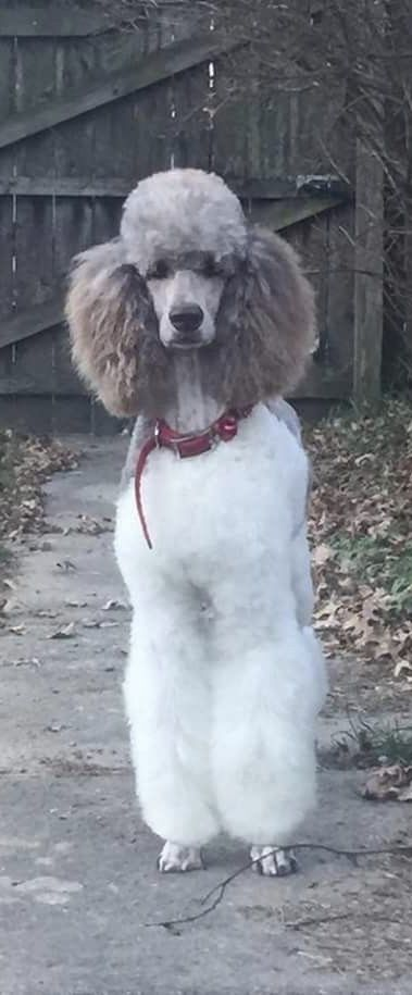 Pin By Heliotrope Quebec On Puppy Love Poodle Grooming Dogs