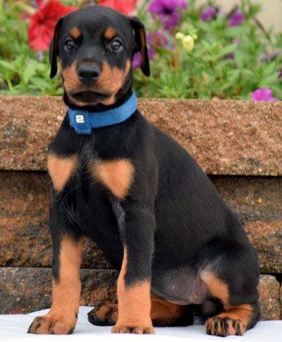 Female Doberman Puppy For Sale Born May 24 2017 European