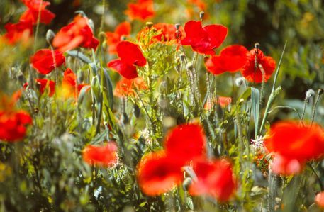 Mohnblumen Fotografie Von Claudia Farber Jetzt Als Poster Kunstdruck Oder Grusskarte Kaufen Mit Bildern Mohnblume Mohn Blumen