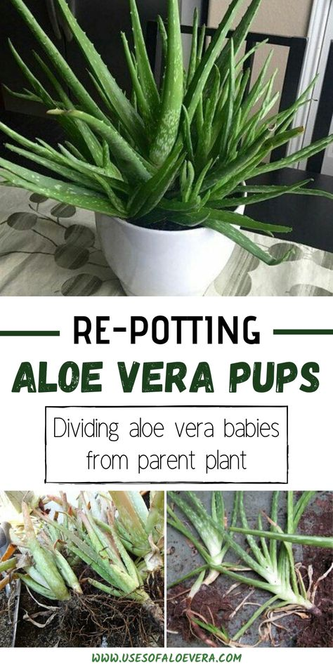 If you see a lot of pups around your plant, then it's time to divide them from the parent plant and repot them to see more aloe Vera plants. Succulent Gardening, Cacti And Succulents, Planting Succulents, Garden Plants, Container Gardening, Planting Flowers, Plants For Containers, Succulent Landscaping, Succulent Containers