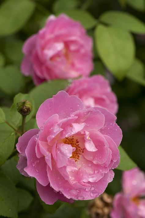 'Mary Rose'   Shrub. English Rose Collection. Bred by David C. H. Austin (United Kingdom, 1983)  Flickr - © NYBG, Photo by Ivo M. Vermeulen