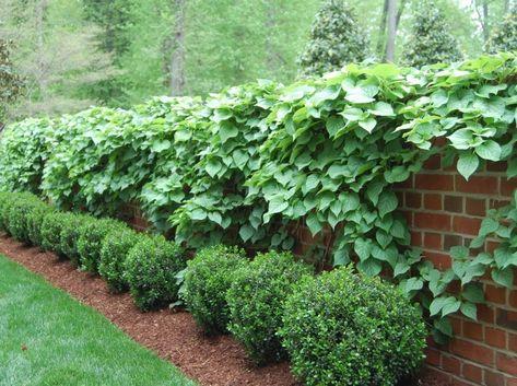 9 Örökségi burgonyafajta kertjében