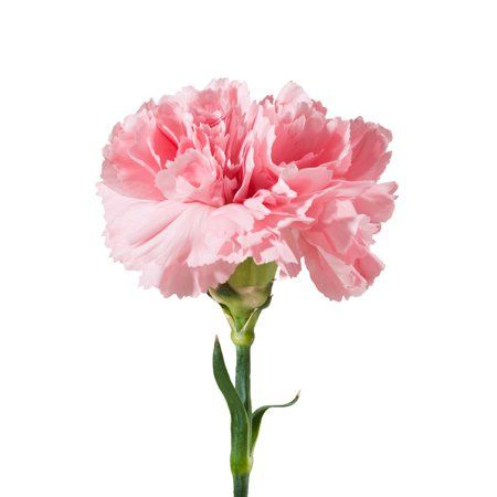 Natural Fresh Flowers Pink Carnations 100 Stems Walmart Com Carnation Flower Pink Carnations Flowers