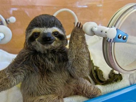 Cute Sloths That Will Brighten Your Day Baby Sloth Sloth And - 5 month old baby and sloth are the most unlikely of best friends