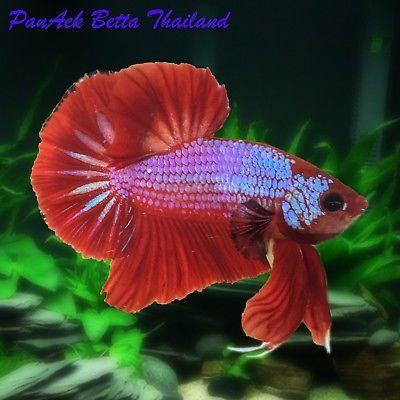 Live Betta Tropical Fish Red Samurai Dragon Hmpk Male M Size Thailand Fighter Tropical Fish Betta Betta Fish
