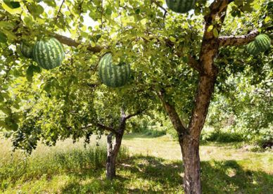أروع صور شجرة فاكهه البطيخ عالم الصور Watermelon Tree Tree Plants