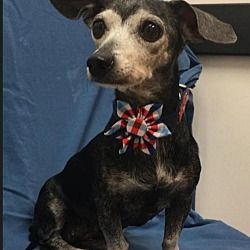 Vote For Harley In The 2019 Dachshund Adoption Rescue Education