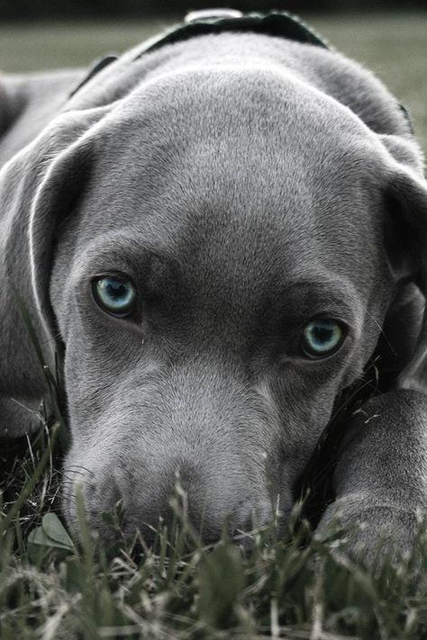 Silver Labrador Retriever Puppy Dog Puppies Dogs Lab Weimaraner