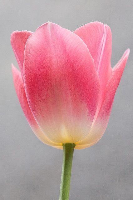 Tulips Garden Care Garden Gardencare Tulip The Angle That I Like The Most Tulpen Tulpen Blumen Schone Blumen