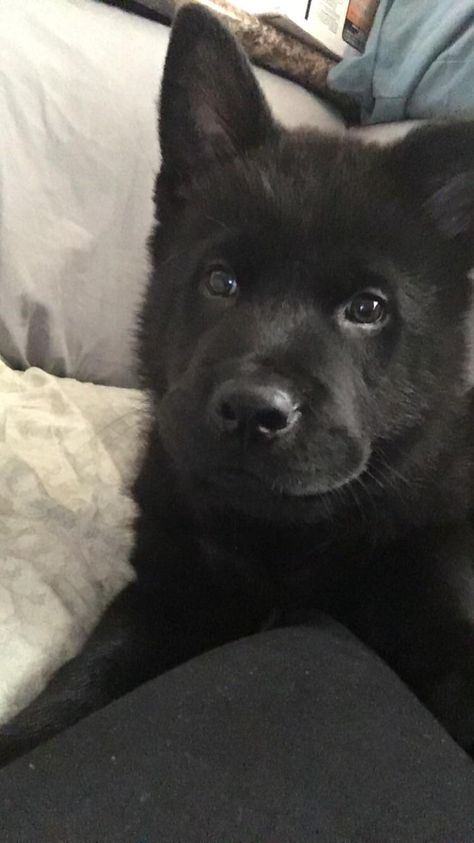 This Is Chowder He S My German Shepherd Chow Mix