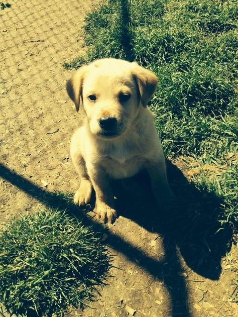 Adopt Buxton On Petfinder Dogs Golden Retriever Golden Retriever Labrador Labrador Retriever Mix