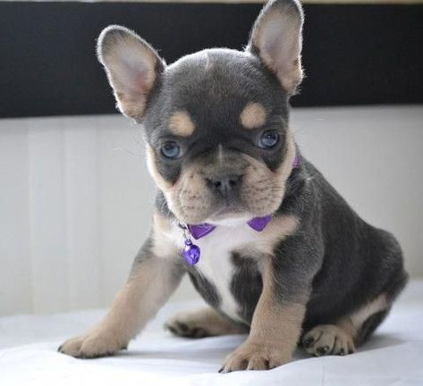 French Bulldog Puppies Teacup French Bulldog Puppies Teacup