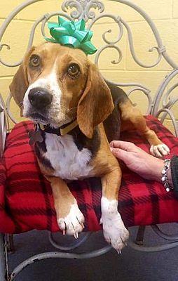 Elmwood Park Nj Beagle Meet Noelle A Pet For Adoption