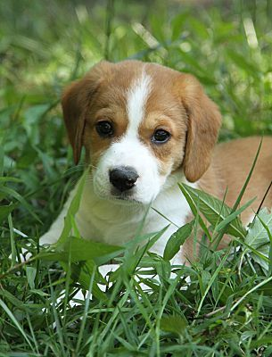 Alabaster Al Beagle Meet Mae A Dog For Adoption Beagle Puppy Cute Beagles Dog Adoption