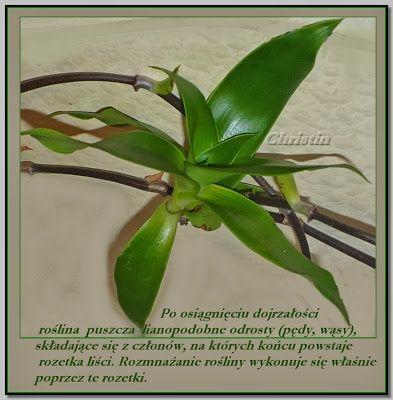 Apteka Na Dzialce I W Domu Zloty Was Uprawa Mikstury Plant Leaves Plants Vegetables