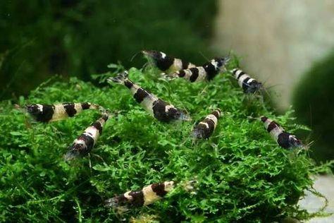 Caridina Bumble Bee Aquariumvissen Garnalen Vissen
