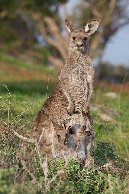 Kangaroo & Joey in Canberra Australia