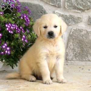 Golden Retriever English Cream Puppy In Honey Brook Pa