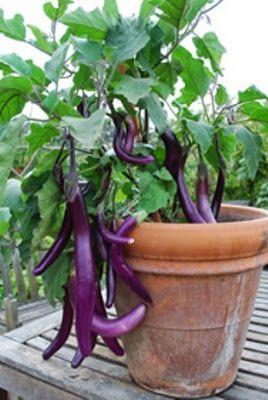 Cara Masak Terong Ungu : masak, terong, Menanam, Terong, Polybag, Organic, Container, Gardening,, Growing, Vegetables, Containers,, Plants