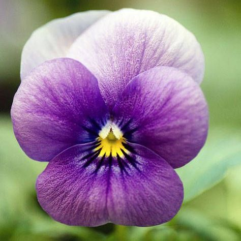 The Secret Meanings Behind Your 30 Favorite Flowers Pansies Flowers Viola Flower Purple Flowers Garden